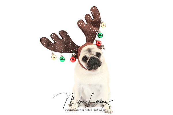 Pug dressed in Reindeer Antlers for Christmas.