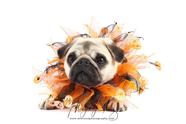 Fawn Pug dressed for Halloween.