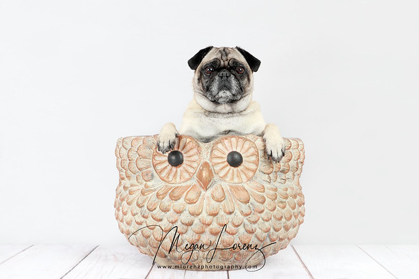 Fawn Pug sitting in an owl planter.