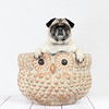 Fawn Pug sitting in an owl planter.