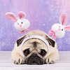Piglet the Pug wearing bunnies for Easter.