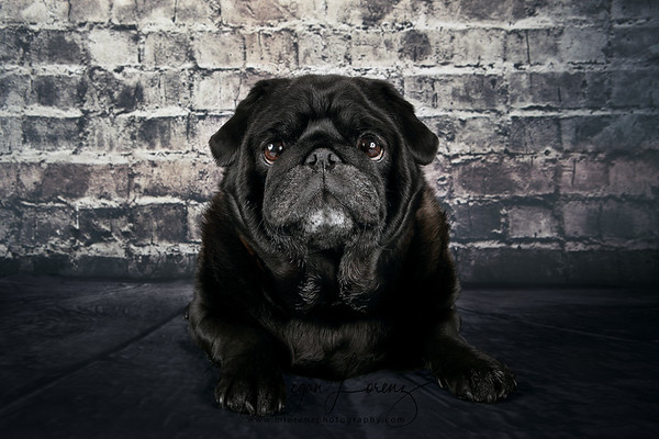 Black 8-year-old female pug.