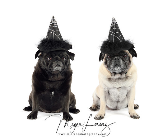 Fawn Pug wearing a witch hat for Halloween.