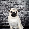 Fawn Pug Puppy sitting in front of a weathered brick wall.