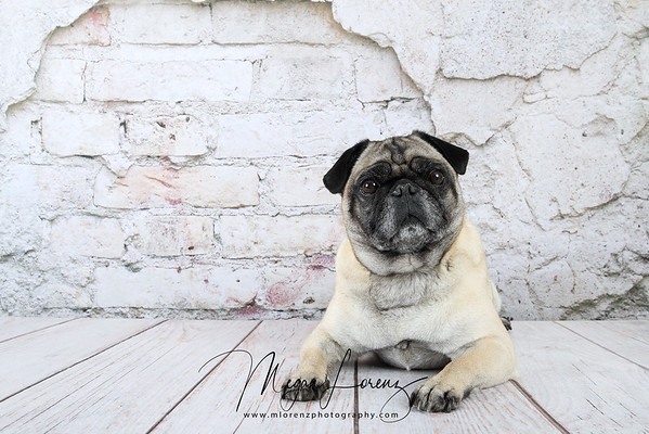 Fawn Pug sitting in front of a weathered brick wall.