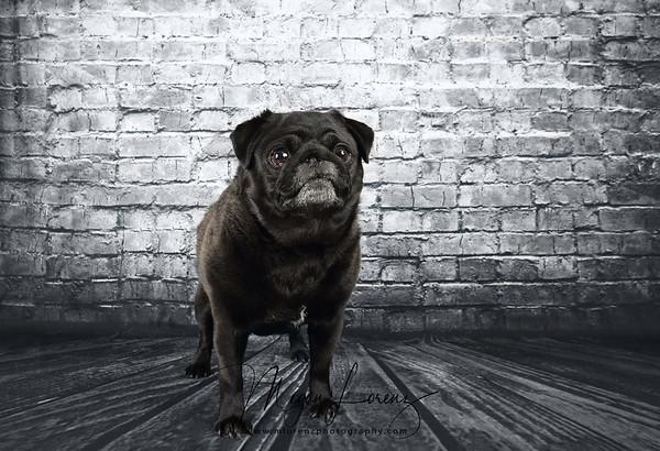 Black Pug against an old brick wall.
