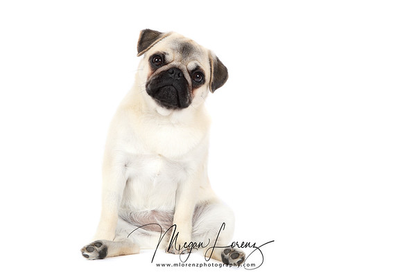 Piglet the Pug sitting.