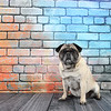 Fawn Pug sitting in front of a colorful brick wall.