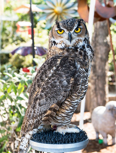 I am a Great Horned Owl. I am proud.