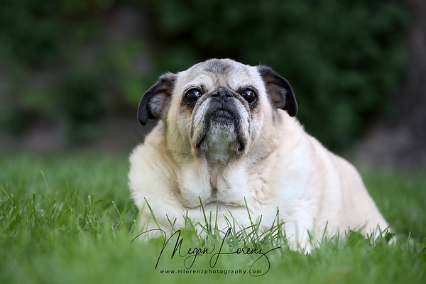 14 Year Old Pug lying in the grass.