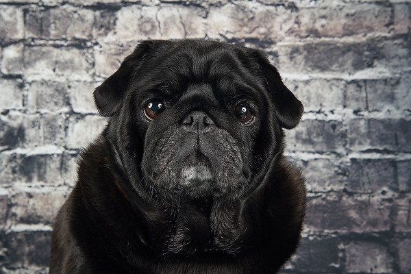 Black Pug against an old brick wall.