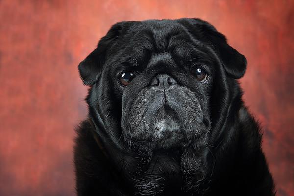 Black Pug against a rusty background.