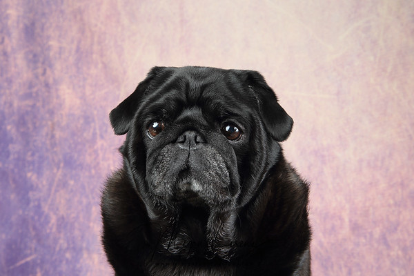 Black Pug against a colorful background.