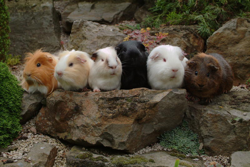 Six Guinea Pig Friends In A Row