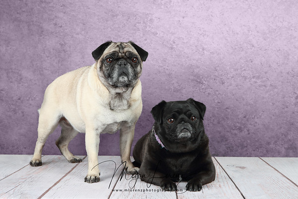 Pugs photographed in studio.