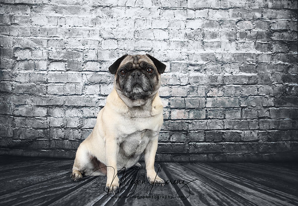 Fawn Pug in front of a weathered brick wall.
