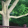 This is our ash tree, it shades our deck about 2/3 of the day.