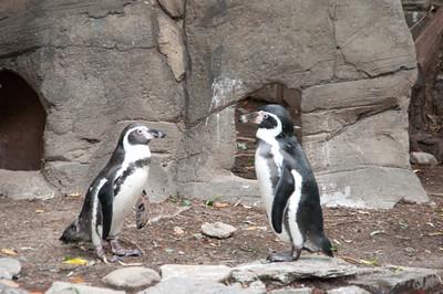 Penguin staring contest.