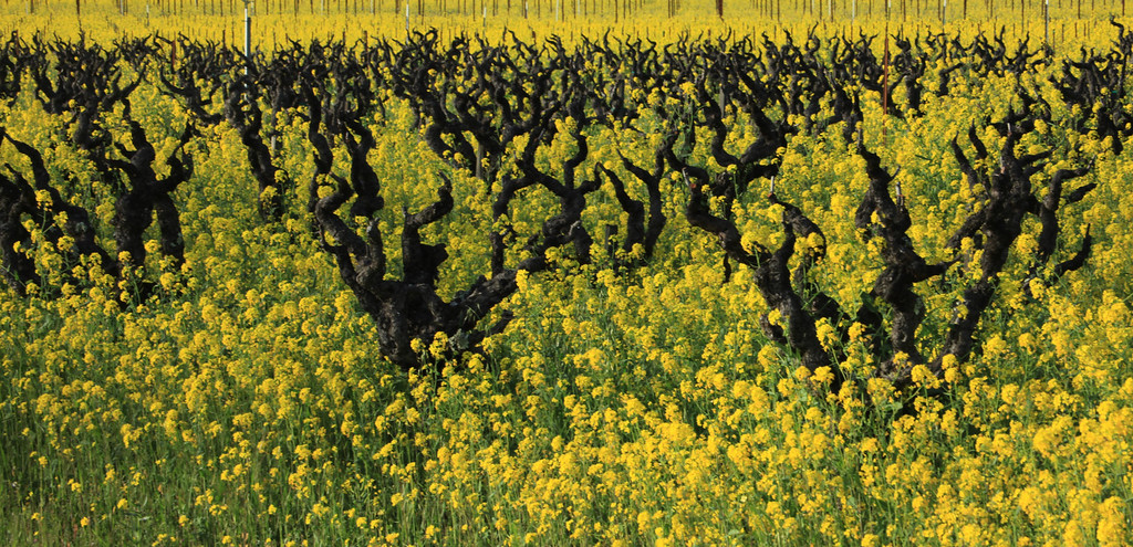 Yellow mustard announces the early arrival of Spring in Napa Valley. Monday, February 15, Napa Valley.