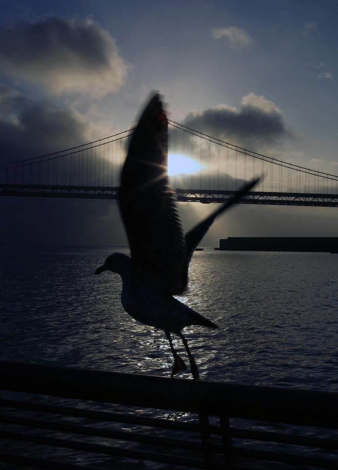 An heir to Jonathon Livingston Seagull takes flight in the early morning air near the Bay Bridge in the San Francisco Bay. January 13, Wednesday, San Francisco, CA
