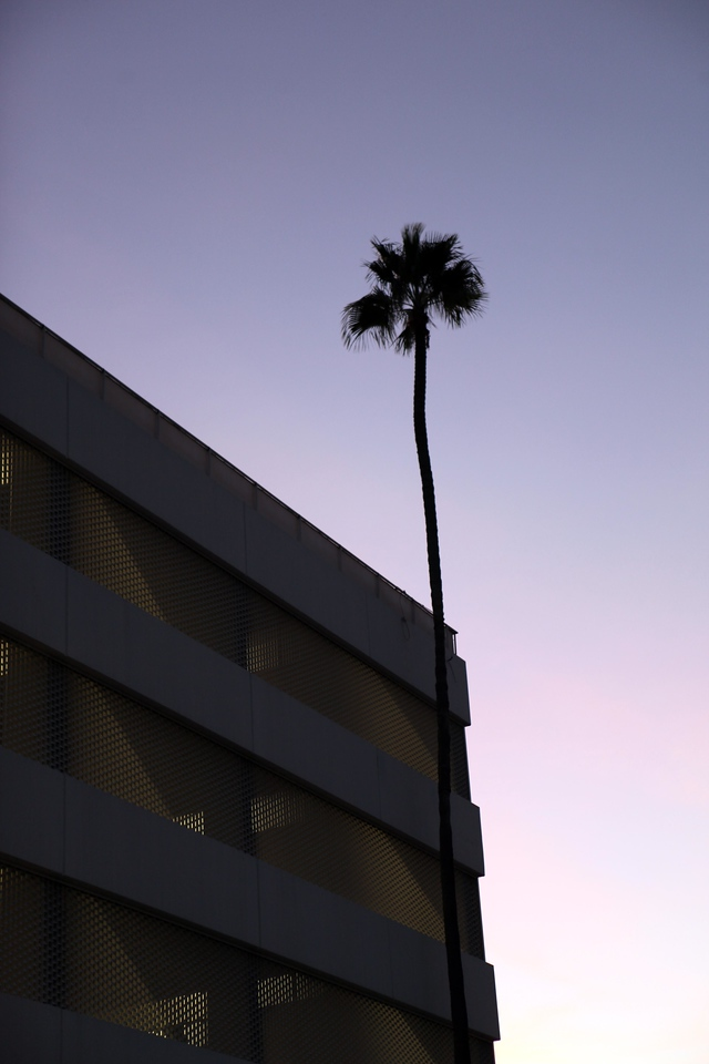 Lone palm tree ascends to great heights. October 29th. Beverly Hills, CA