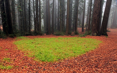 Redwood grove. Roberts Park, Oakland. Nov 12th.