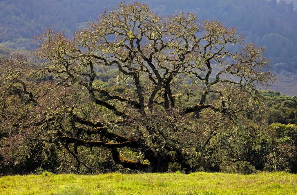 Sprawling oak. February 25, Thursday, La Canada Road, CA