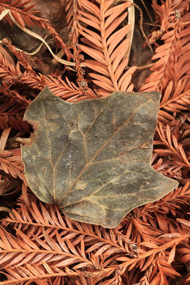 A faded, weathered leaf lies atop a bed of redwood pine boughs. Oakland, CA. October 21st.
