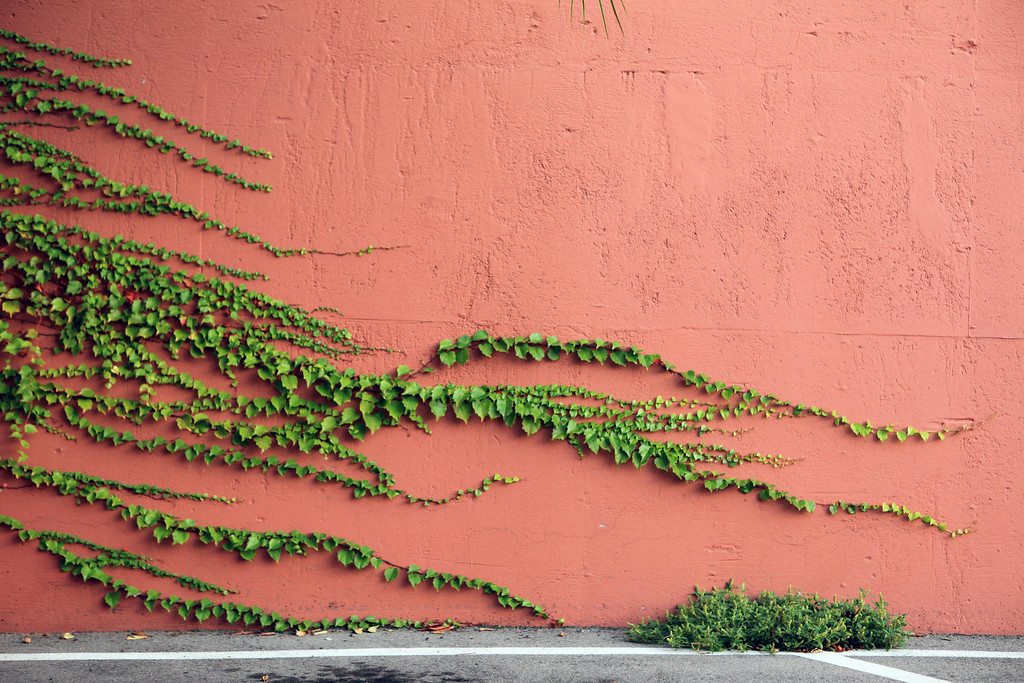Vines race across the side of a building with no finish line in sight. October 23rd. Beverly Hills, CA.