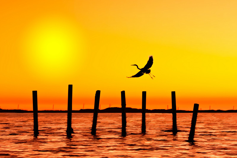 Great Blue Heron coming in for a landing, fort walton beach, florida