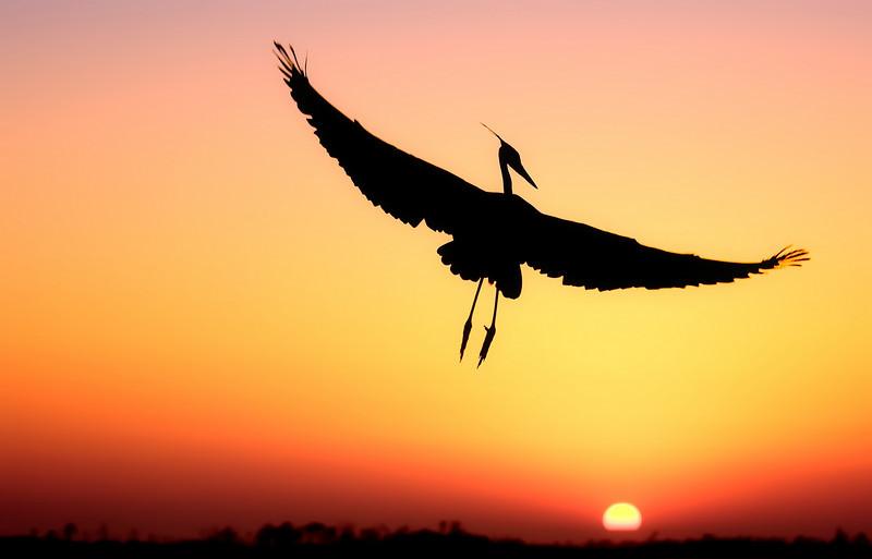 Great blue heron in flight, fort walton beach, florida