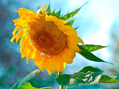 Sunflower_4864
