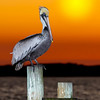 Perched Pelican, Fort Walton Beach, Florida