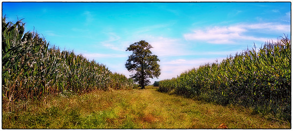 In Amish Country in Lancaster County Pennsylvania a lone tree stands among the tall stalks of corn.