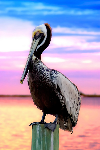 Pelican, fort walton beach, florida