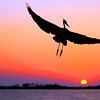 Great blue heron in flight, fort walton beach, florida