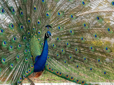 Peacock 4-1-08-6485