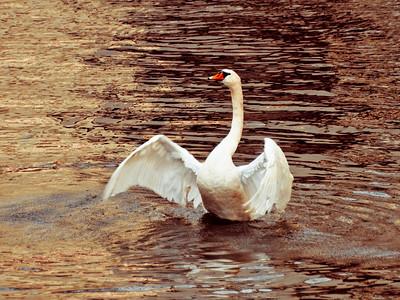 2008-12-15 Prague Swan 2-3290