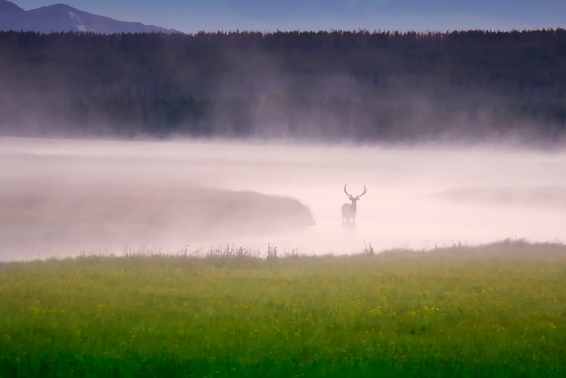 Elk in fog, Yellowstone National Park