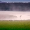 Elk in fog, Yellowstone National Park