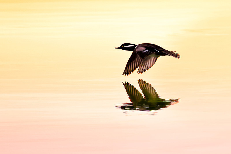 Hooded Merganser in flight