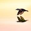 Hooded Merganser in flight