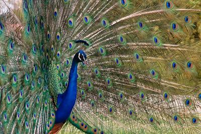 Peacock final-6472