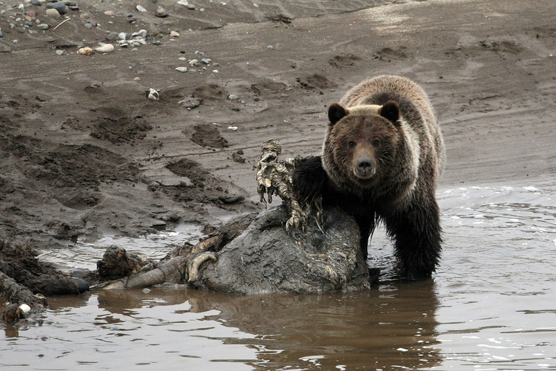 """I was hiking in Yellowstone and came over a ridge and this grizzly (on a buffalo carcass) was less than 50 yards away. Took a quick pick and made my retreat.  <a href=""""http://www.yellowstone.net/wildlife/grizzly2.htm"""">http://www.yellowstone.net/wildlife/grizzly2.htm</a>"""