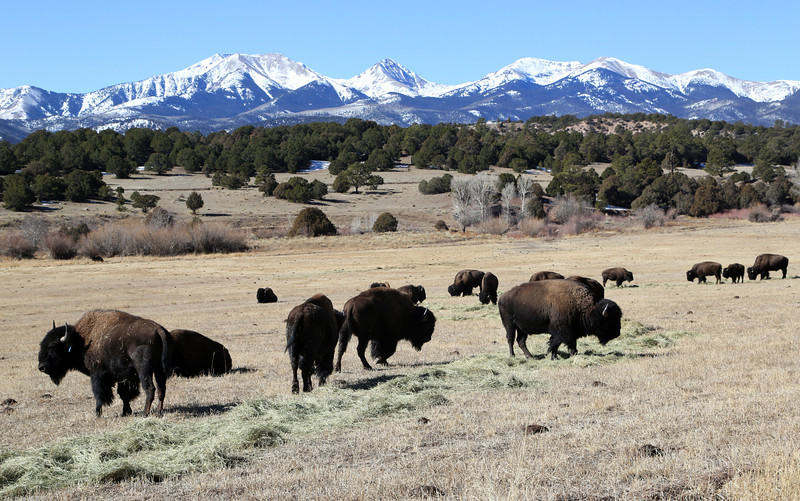 A bison herd near Westcliffe Colorado near Horn Creek Lodge