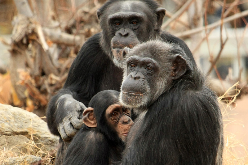 "Photo taken at the Tulsa Zoo.  This chimpanzee family turned to look at me just as I took this shot.  One of my favorites. <a href=""http://www.stlzoo.org/animals/abouttheanimals/mammals/lemursmonkeysapes/chimpanzee"">http://www.stlzoo.org/animals/abouttheanimals/mammals/lemursmonkeysapes/chimpanzee</a>"