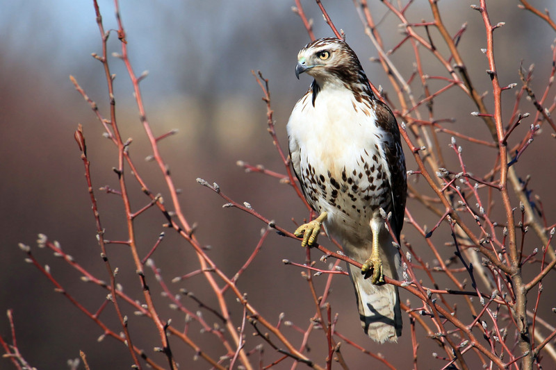 """Driving down the road and spotted this hawk.  I was able to safely pull off the road and snap this photograph before he flew away.  <a href=""""http://oklahomabirdsandbutterflies.com/cat/3/5"""">http://oklahomabirdsandbutterflies.com/cat/3/5</a>"""