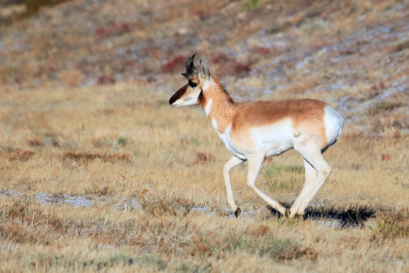 "A Pronghorn Antelope running to catch up with a group of others. <a href=""http://www.fws.gov/southwest/refuges/arizona/pronghrn.html"">http://www.fws.gov/southwest/refuges/arizona/pronghrn.html</a>"