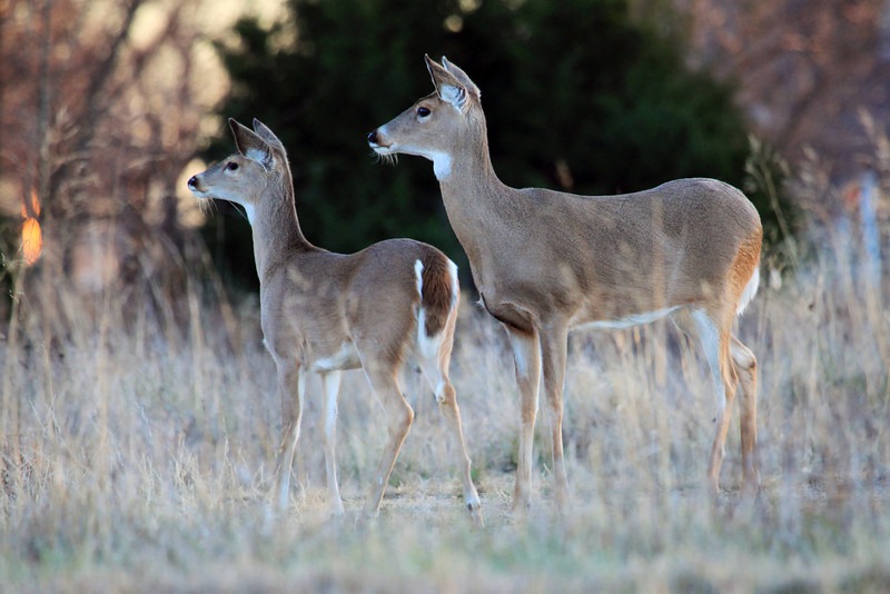 """I went out for an evening drive and took along my camera and ran across this whitetail doe and yearling fawn.  They were watching some people walking nearby and I snapped this photo.  <a href=""""http://www.nhptv.org/natureworks/whitetaileddeer.htm"""">http://www.nhptv.org/natureworks/whitetaileddeer.htm</a>"""