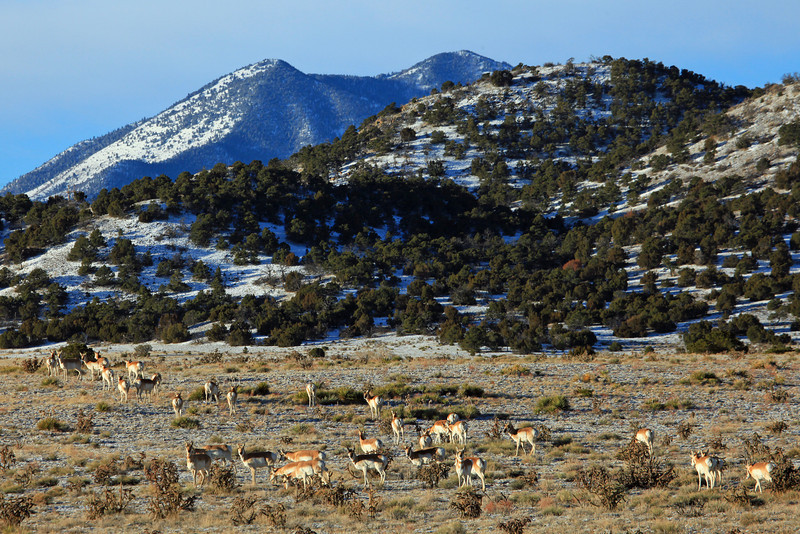 Near Walsenburg Colorado we spotted this large herd of Antelope not far from Highway 69